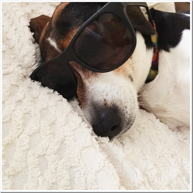 Nellie as Joe Cool, that other famous beagle. Learn more about Nellie at This Mama Cooks! On a Diet