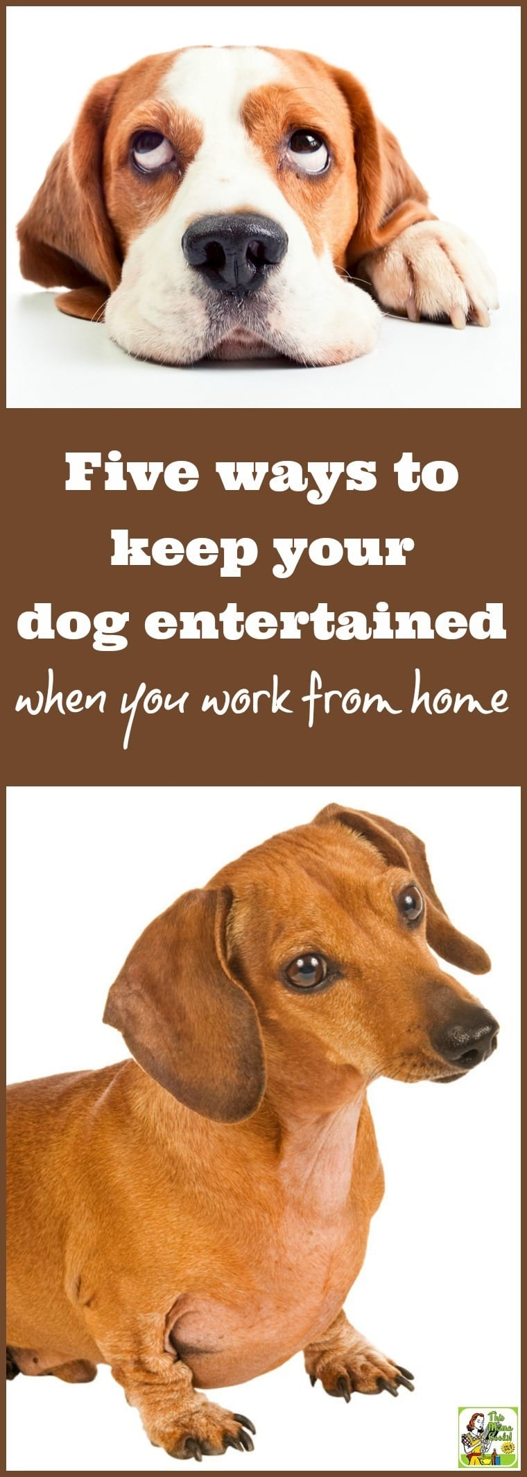 "Do you work from home and wonder, ""How can I keep my dog entertained all day?"" Keeping your puppy entertained is important so she doesn't misbehave out of boredom. Same with your adult or senior dogs, too. Here are 5 ways to keep your dog entertained when you work from home. Tips include playing with dog entertainment toys. Or trying an Orapup Dog Breath Brush session with Orapup Dog Breath Lickies Liquid."